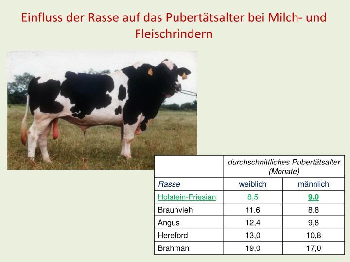 Einfluss der Rasse auf das Pubertätsalter bei Milch- und Fleischrindern
