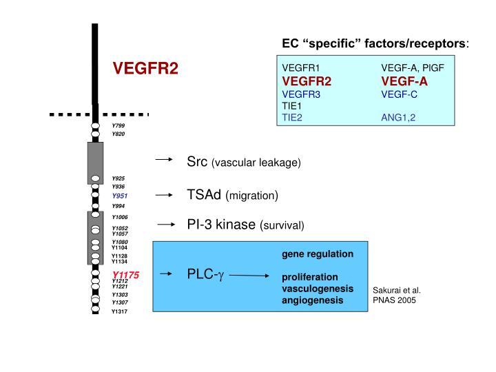 "EC ""specific"" factors/receptors"