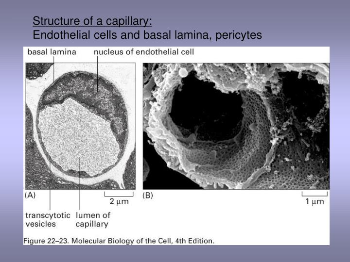 Structure of a capillary: