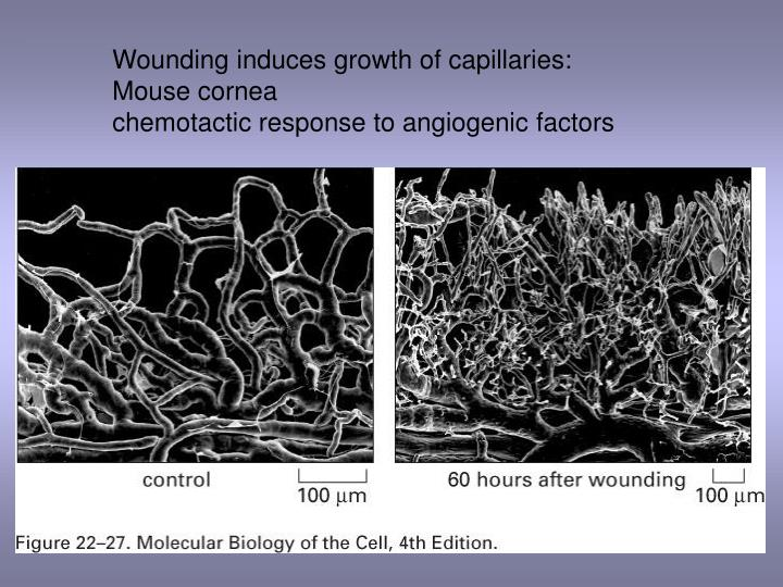 Wounding induces growth of capillaries: