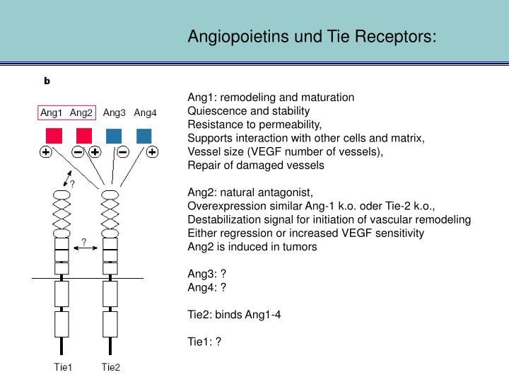 Angiopoietins und Tie Receptors: