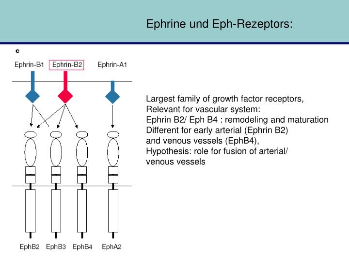 Ephrine und Eph-Rezeptors: