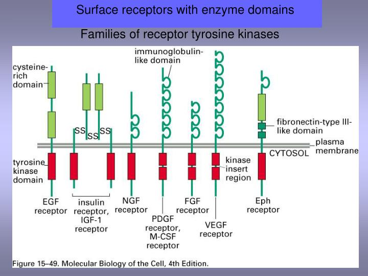 Surface receptors with enzyme domains