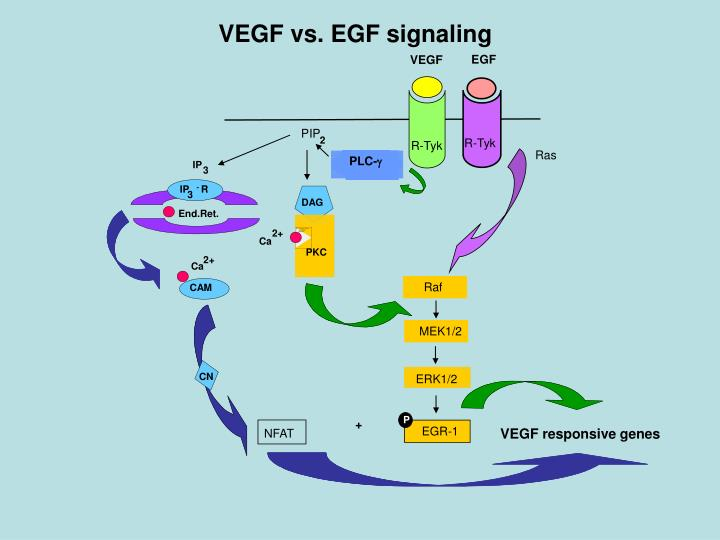 VEGF vs. EGF signaling