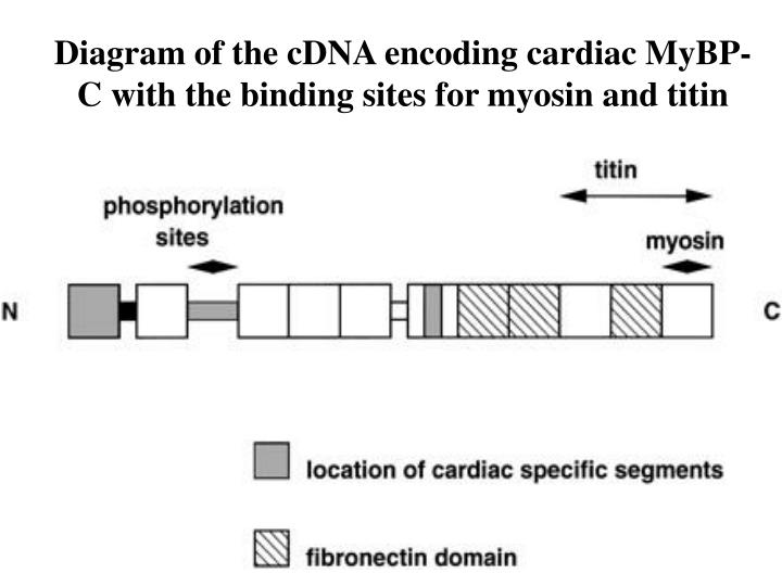 Diagram of the cDNA encoding cardiac MyBP-C with the binding sites for myosin and titin