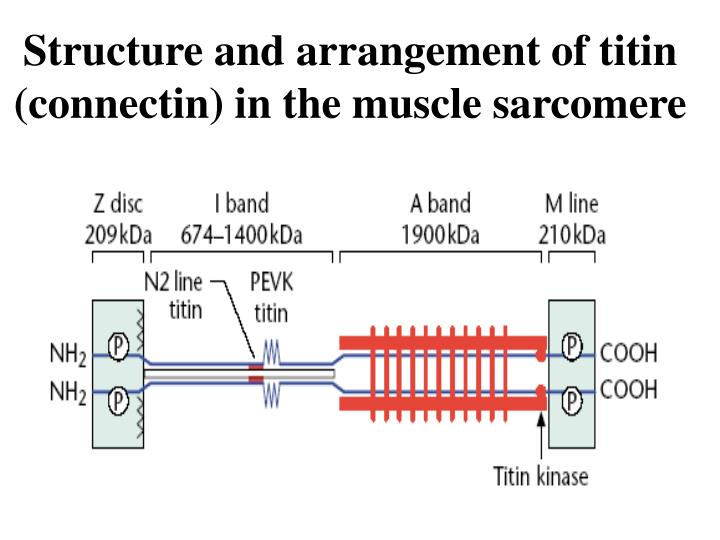 Structure and arrangement of titin (connectin) in the muscle sarcomere