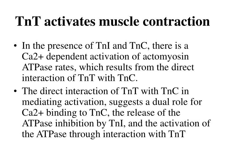 TnT activates muscle contraction