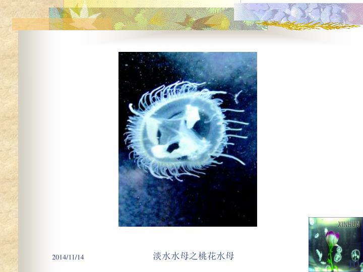 淡水水母之桃花水母