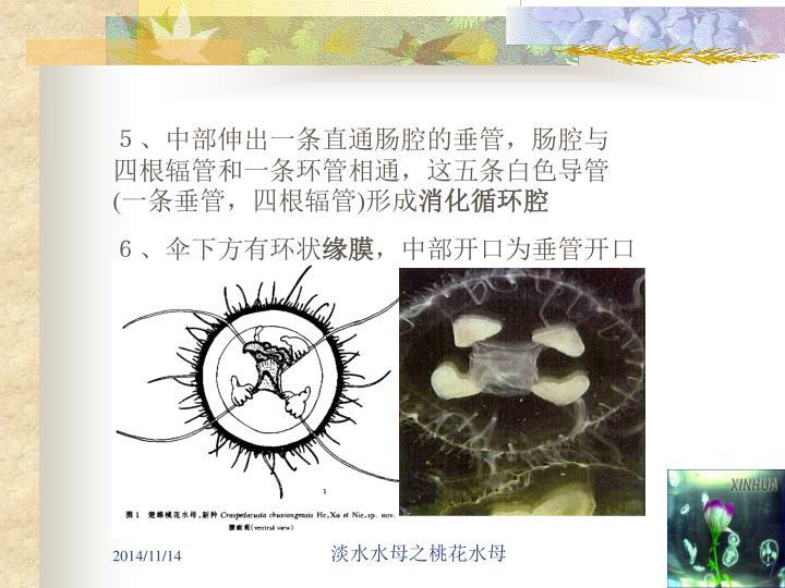 5、中部伸出一条直通肠腔的垂管,肠腔与四根辐管和一条环管相通,这五条白色导管