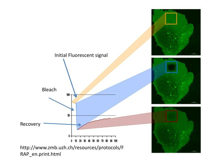 Initial Fluorescent signal