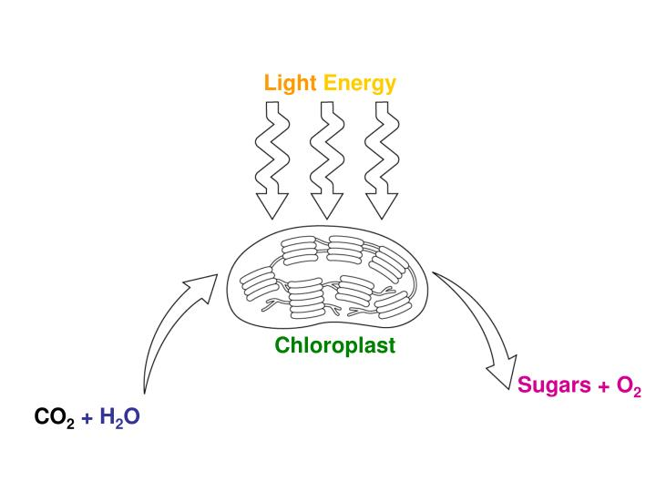 Photosynthesis: Reactants and Products