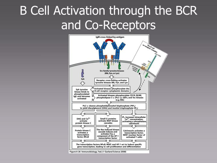 B Cell Activation through the BCR and Co-Receptors