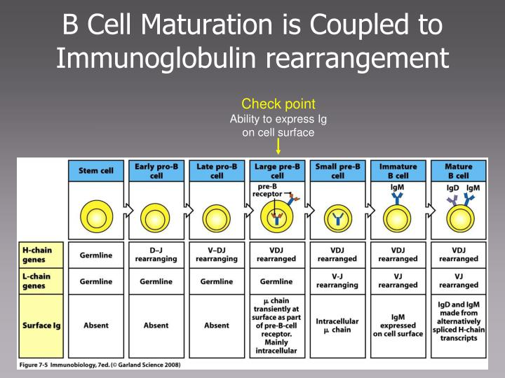 B Cell Maturation is Coupled to Immunoglobulin rearrangement