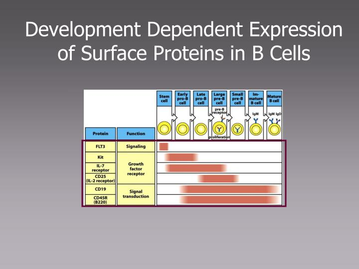 Development Dependent Expression of Surface Proteins in B Cells