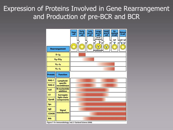 Expression of Proteins Involved in Gene Rearrangement and Production of pre-BCR and BCR