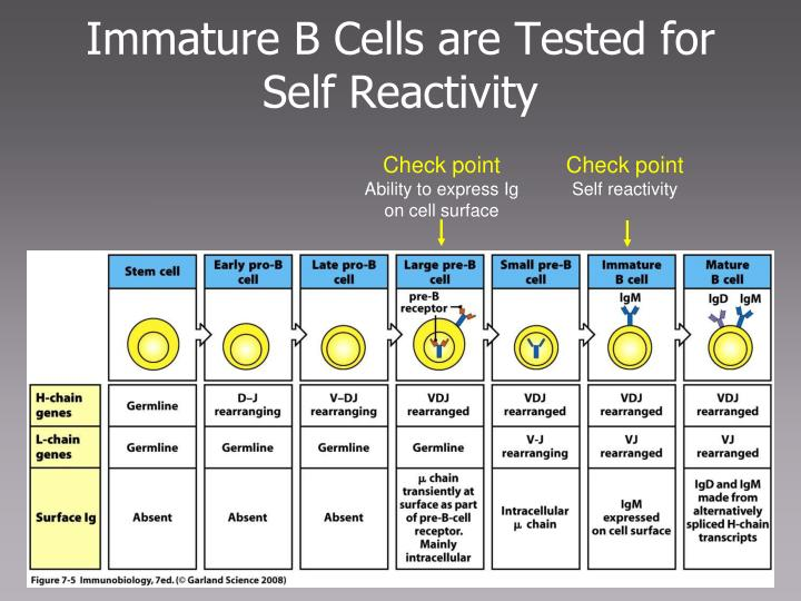Immature B Cells are Tested for Self Reactivity