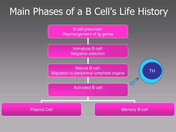 Main Phases of a B Cell's Life History