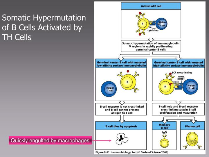 Somatic Hypermutation of B Cells Activated by TH Cells