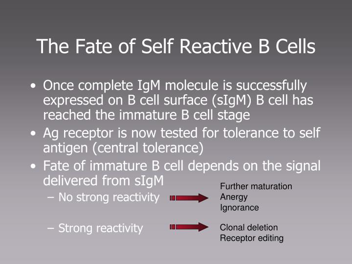 The Fate of Self Reactive B Cells