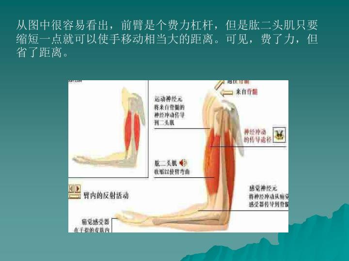 从图中很容易看出,前臂是个费力杠杆,但是肱二头肌只要缩短一点就可以使手移动相当大的距离。可见,费了力,但省了距离。