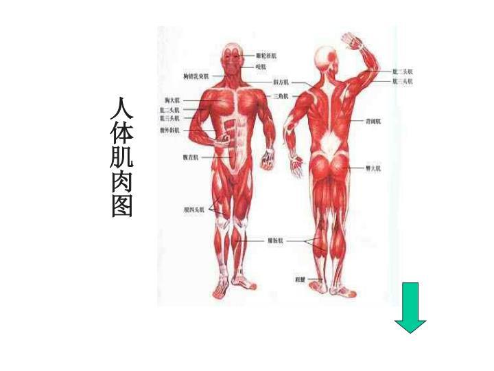 人体肌肉图