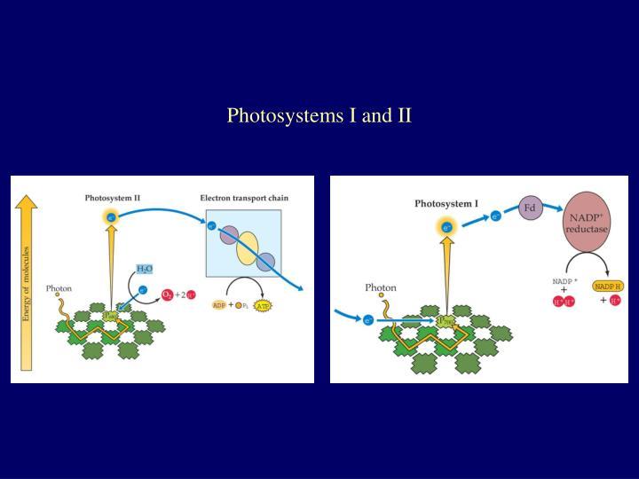 Photosystems I and II