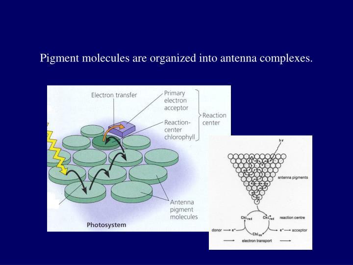 Pigment molecules are organized into antenna complexes.