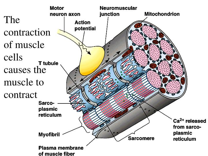 The contraction of muscle cells causes the muscle to contract