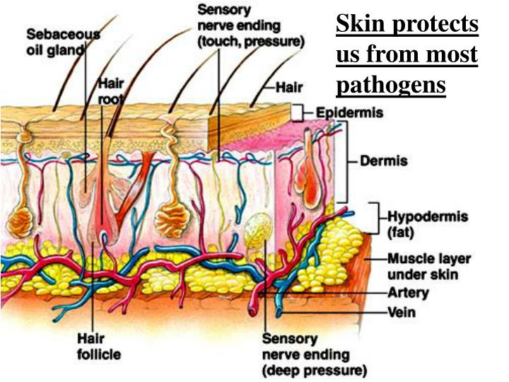Skin protects us from most pathogens