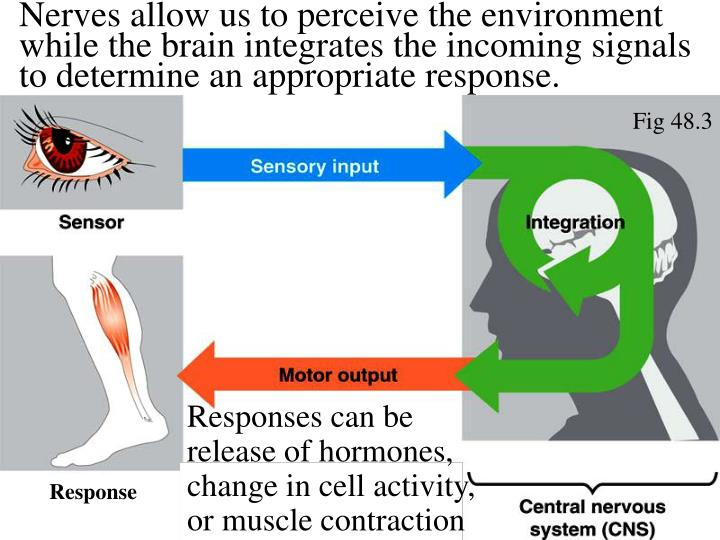 Nerves allow us to perceive the environment while the brain integrates the incoming signals to determine an appropriate response.