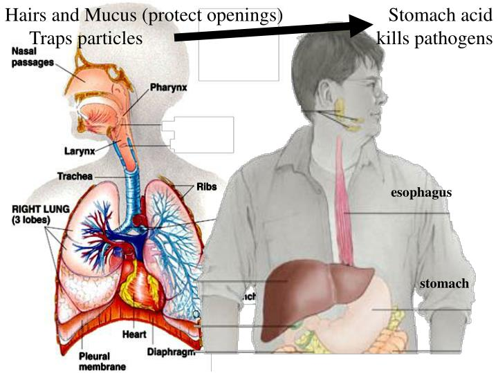 Hairs and Mucus (protect openings)