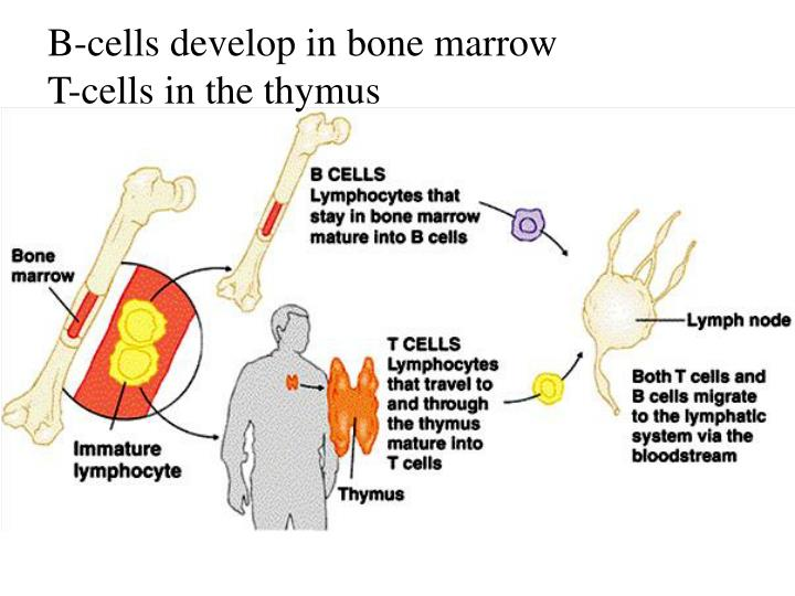 B-cells develop in bone marrow