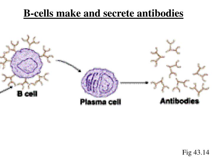 B-cells make and secrete antibodies