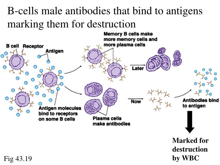 B-cells male antibodies that bind to antigens marking them for destruction