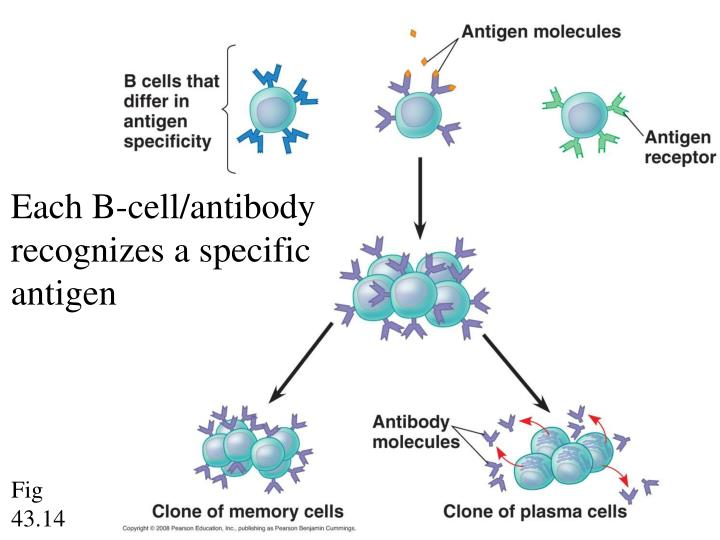 Each B-cell/antibody recognizes a specific antigen