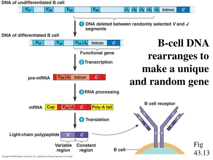 B-cell DNA rearranges to make a unique and random gene