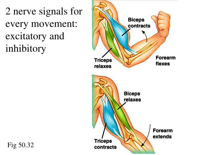 2 nerve signals for every movement: