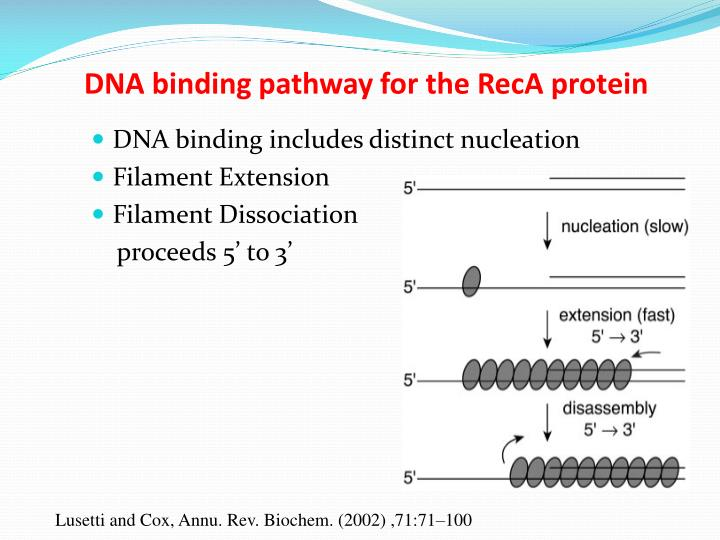 DNA binding pathway for the RecA protein