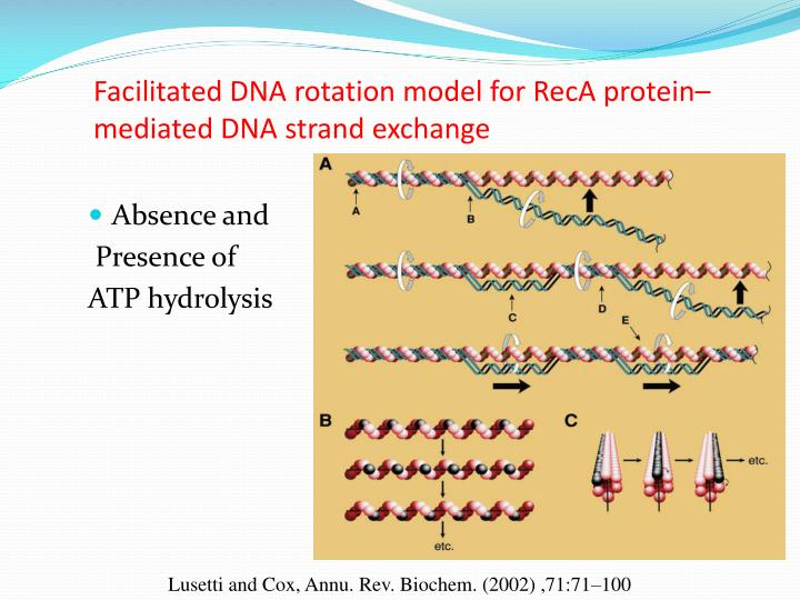 Facilitated DNA rotation model for RecA protein–mediated DNA strand exchange