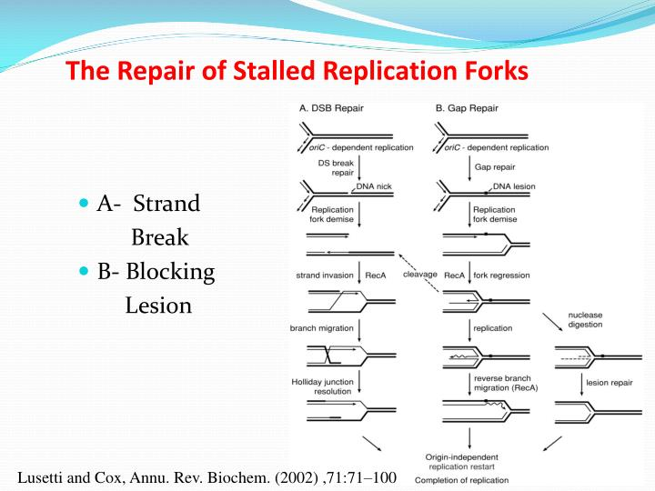 The Repair of Stalled Replication Forks