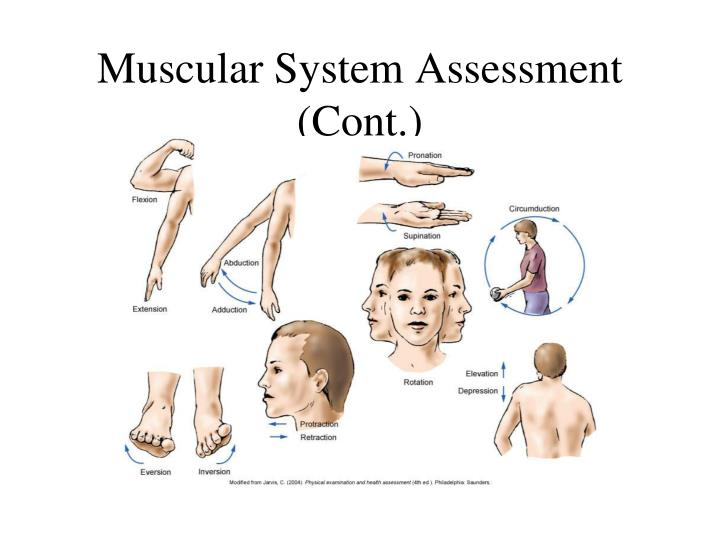 Muscular System Assessment (Cont.)