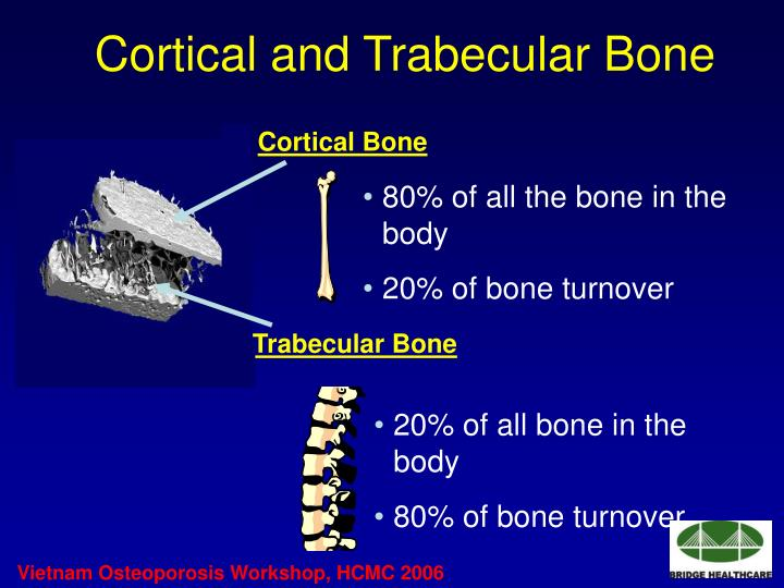 Cortical and Trabecular Bone