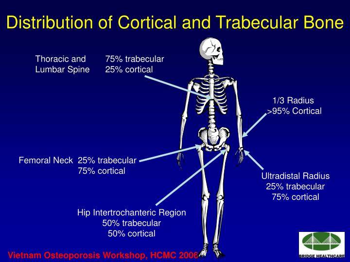 Distribution of Cortical and Trabecular Bone