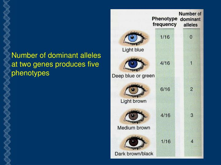 Number of dominant alleles at two genes produces five phenotypes
