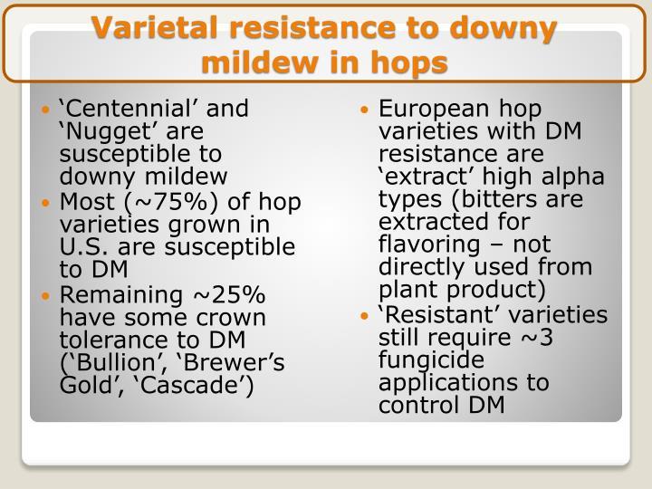 Varietal resistance to downy mildew in hops