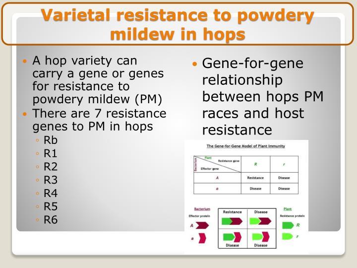 Varietal resistance to powdery mildew in hops