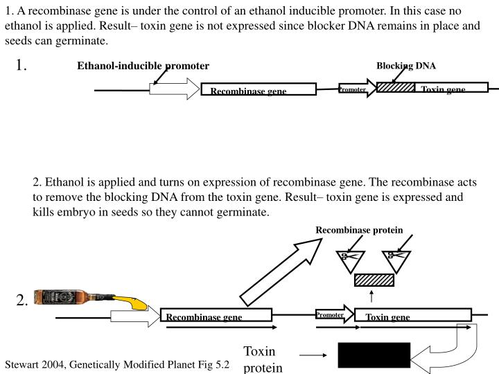 1. A recombinase gene is under the control of an ethanol inducible promoter. In this case no ethanol is applied. Result– toxin gene is not expressed since blocker DNA remains in place and seeds can germinate.