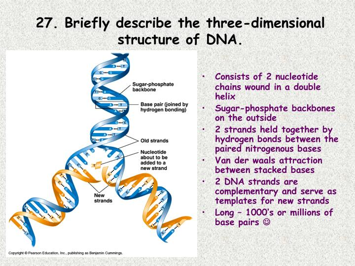 27. Briefly describe the three-dimensional structure of DNA.