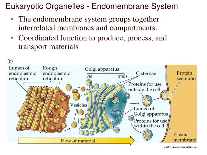 Eukaryotic Organelles - Endomembrane System