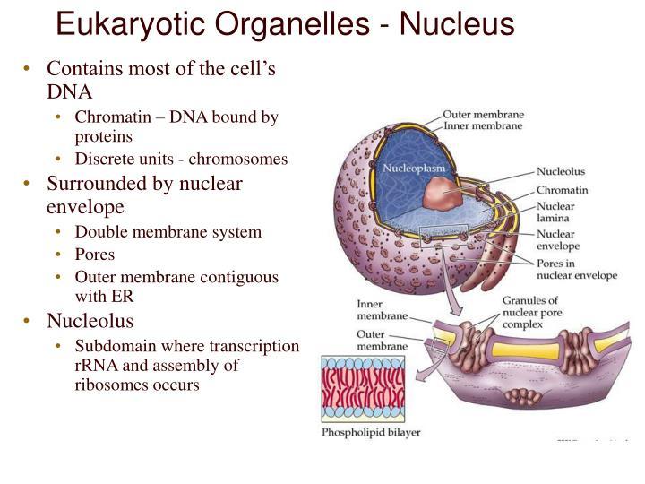 Eukaryotic Organelles - Nucleus